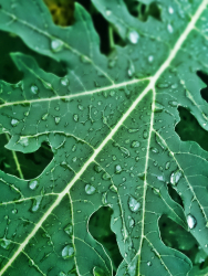 Water Droplets On Papaya Leaves