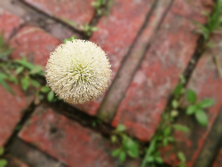 Dandelion on the bricks