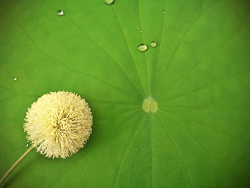 Dandelion on lotus leaves