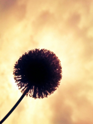 Silhouette of dandelion in sky