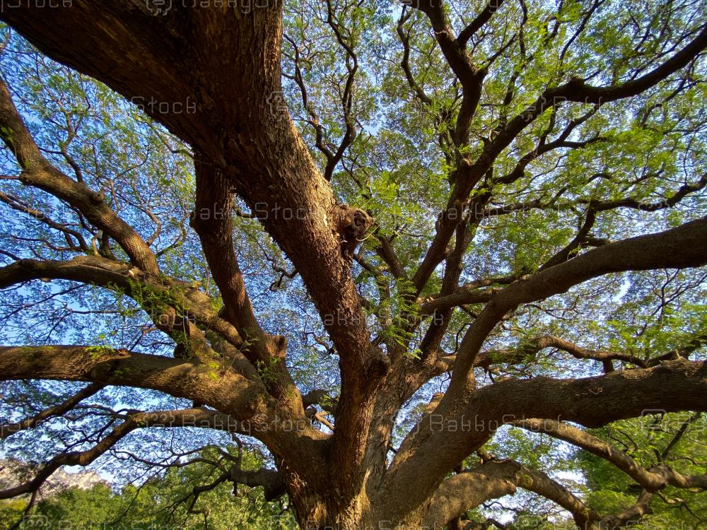 Chamchuri Giant Tree