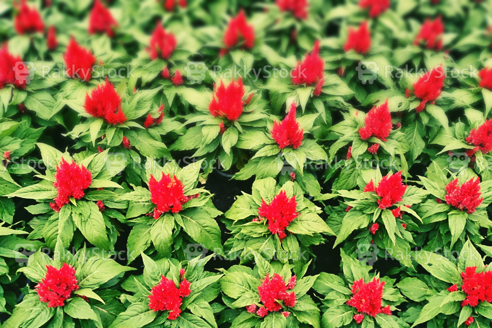 The decorative red flowers