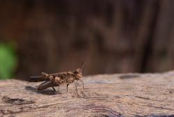 Grasshopper with bole